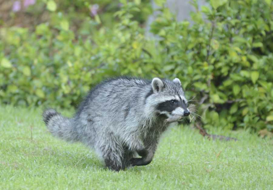 Raccoon roams Library Lawn